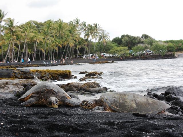 Wasserschildkröten am schwarzen Strand Big Island Hawaii