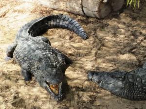 Krokodile Djerba Explore